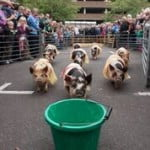Hampshire Farmers' Markets at Winchester celebrates Hampshire Hog Day with the return of the popular  Piglet Racing event!
