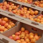Godshill Orchards' Apricot Harvest
